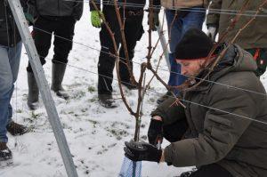 Weinbauberater Artur Baumann zeigt den sanften Rebschnitt – noch bei Schnee.
